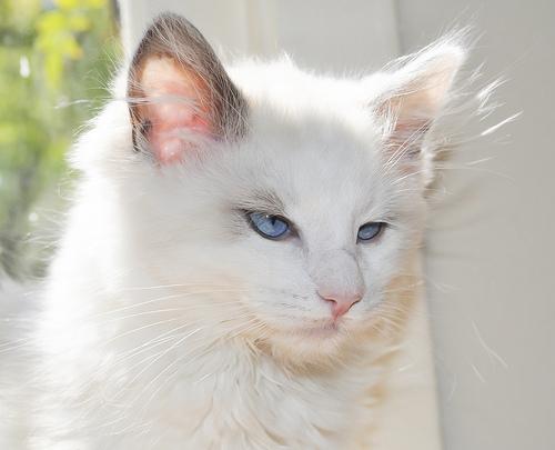 ragdoll chaton a donner