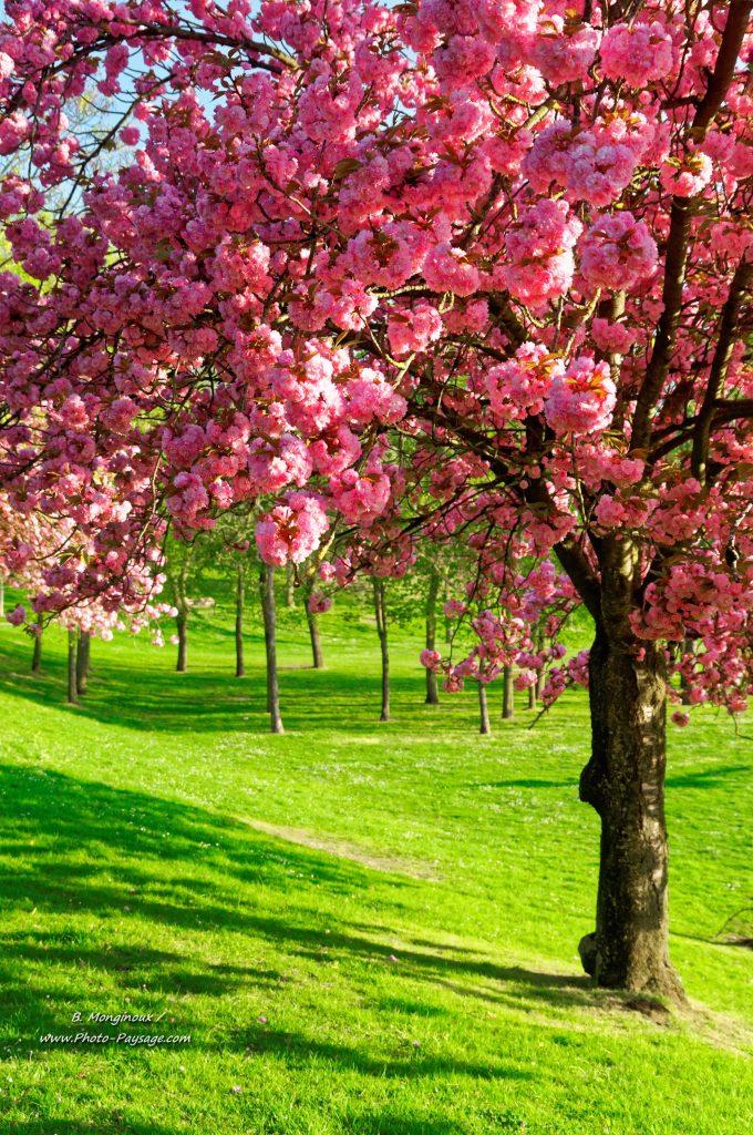 saison des cerisiers au japon
