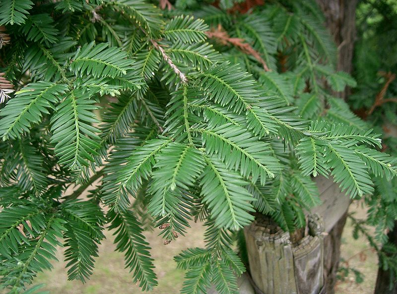 cryptomeria japonica fiche description