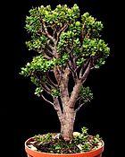 cultiver un bonsai