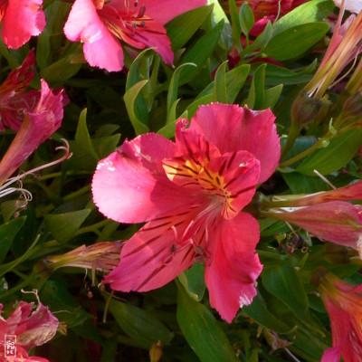 fleurs rouges été
