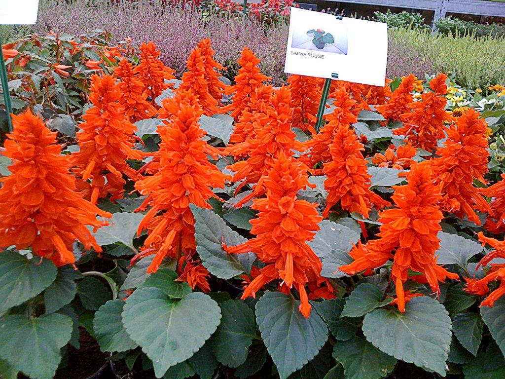 plante vivace rouge