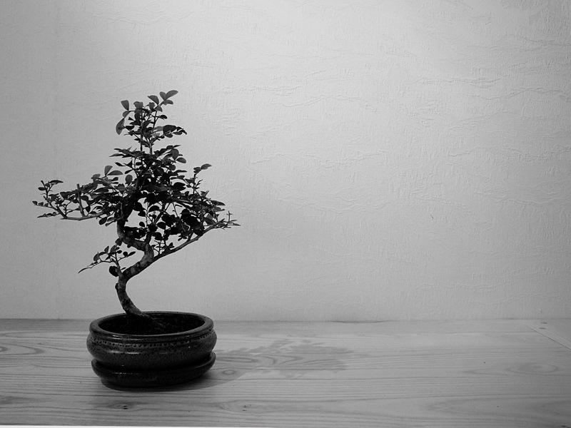 sorte de bonsai