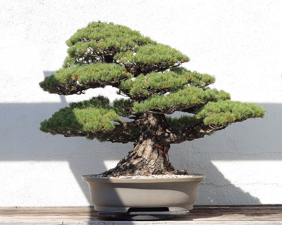 traditional bonsai tree