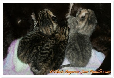 adoption de chatons