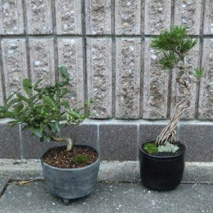 bonsai variété