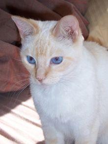 chaton ragdoll