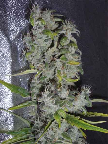 croissance cannabis extérieur