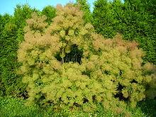 liste arbre du japon